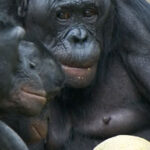 Bonobos opt to share their food