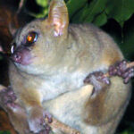 Giant mouse lemur seen in threatened forest