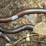 Blind, Legless Lizard Discovered