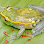 See-Through Frog, Other