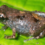Smallest Frogs Found