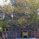 Buddha tree alive and healthy at age 2,500