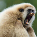 Gibbons and Opera Singers Use the Same Voice Tools