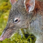 New Rat Species Is Nearly Toothless