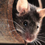 Singing Mice Learn New Tunes