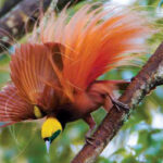 Birds-of-Paradise Evolved in Lost Worlds