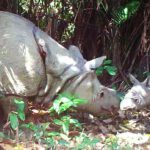 Extremely Rare Baby Rhino Captured in Camera Trap