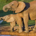 Elephant Genes Hold Cancer-Fighting Secret