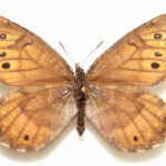 New Butterfly Discovered in Alaska for First Time in 28 Years