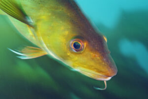 Close up portrait of an Atlantic cod, Gadus morhua.